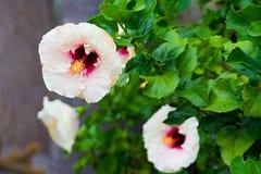 Branche d'arbre avec les fleurs blanches des ketmies Photo libre de droits