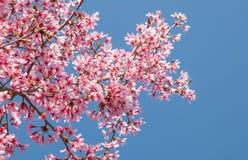 Branche d'arbre avec les fleurs de cerisier roses de floraison Image libre de droits