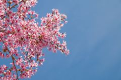 Branche d'arbre avec les fleurs de cerisier roses de floraison Photo stock