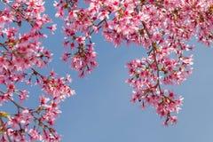 Branche d'arbre avec les fleurs de cerisier roses de floraison Images stock
