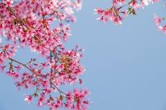 Branche d'arbre avec les fleurs de cerisier roses de floraison Photographie stock libre de droits
