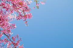 Branche d'arbre avec les fleurs de cerisier roses de floraison Images libres de droits