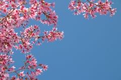 Branche d'arbre avec les fleurs de cerisier roses de floraison Photographie stock