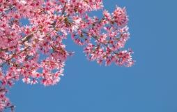 Branche d'arbre avec les fleurs de cerisier roses de floraison Photos stock