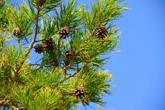 Branche d'arbre conifére Photos libres de droits