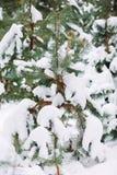 branche d'arbre couverte de neige au coucher du soleil Photos libres de droits