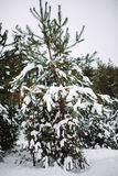 branche d'arbre couverte de neige au coucher du soleil Photo libre de droits
