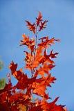 Branche d'arbre cramoisie lumineuse d'érable contre le ciel (optimiste, PO Photographie stock libre de droits