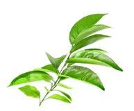 Branche d'arbre d'agrume Photo stock