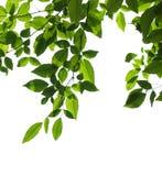 Branche d'arbre d'isolement images stock