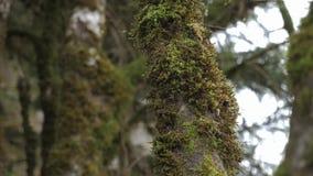 Branche d'arbre dans la forêt avec une expansion de la mousse verte forte banque de vidéos