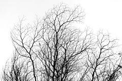 Branche d'arbre de B&W contre le ciel photo stock