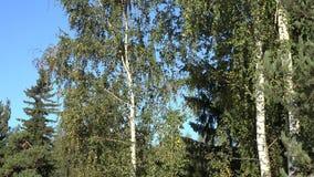 Branche d'arbre de bouleau d'automne avec les feuilles et le tronc d'arbre de couleur Inclinaison vers le haut de tir 4K banque de vidéos