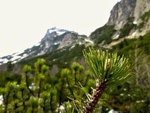 Branche d'arbre de conifère avec des montagnes de haut Tatra à l'arrière-plan Photographie stock libre de droits
