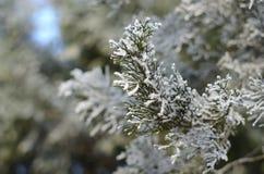 Branche d'arbre de conifère avec le Hoar photos libres de droits