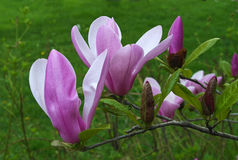 Branche d'arbre de floraison de magnolia Image libre de droits