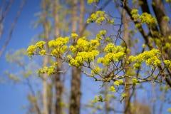 Branche d'arbre de floraison des platanoides d'Acer contre le ciel bleu Image libre de droits
