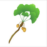 Branche d'arbre de Ginkgo Image libre de droits