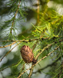 Branche d'arbre de mélèze avec le cône vert Image stock