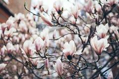 Branche d'arbre de magnolia Les fleurs de magnolia libèrent leur parfum lemony floral doux Images libres de droits