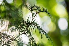 branche d'arbre de sapin avec le bokeh pour un fond Image libre de droits