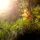 Branche d'arbre de sapin de Douglas avec des cônes l'automne closeup Photo stock