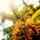 Branche d'arbre de sapin de Douglas avec des cônes l'automne closeup Image libre de droits