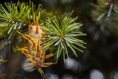 Branche d'arbre de sapin de Douglas avec des cônes l'automne closeup Photographie stock libre de droits