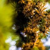 Branche d'arbre de sapin de Douglas avec des cônes l'automne closeup Photo libre de droits