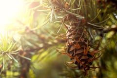 Branche d'arbre de sapin de Douglas avec des cônes l'automne closeup Photos stock
