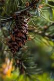 Branche d'arbre de sapin de Douglas avec des cônes l'automne closeup Photographie stock
