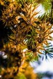 Branche d'arbre de sapin de Douglas avec des cônes l'automne closeup Photos libres de droits