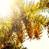 Branche d'arbre de sapin de Douglas avec des cônes l'automne closeup Images libres de droits