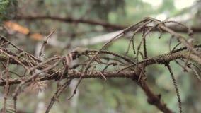 Branche d'arbre de sapin, branche d'un arbre conifére dans la forêt, plan rapproché, macro tir clips vidéos
