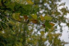 Branche d'arbre de sycomore avec des feuilles commençant à tourner jaune au début de l'automne photos libres de droits