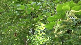 Branche d'arbre de tilleul avec la fleur toujours jaune dedans Changement de foyer 4K clips vidéos