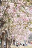 Branche d'arbre de trompette de rose de rosea de Tabebuia images stock