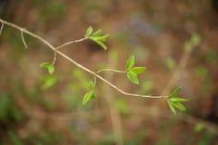Branche d'arbre fleurissant avec des feuilles et des bourgeons Photos stock