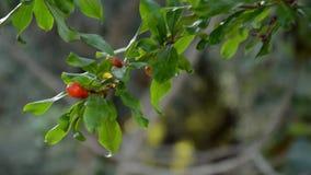 Branche d'arbre fleurissante de grenade avec l'ovaire rouge de fruit banque de vidéos