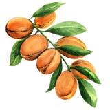 Branche d'arbre fraîche d'argan avec des fruits d'isolement, illustration d'aquarelle illustration libre de droits