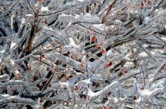 Branche d'arbre glacée avec les baies rouges 4 Photos libres de droits