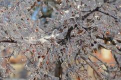 Branche d'arbre glacée avec les baies rouges Image stock
