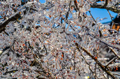 Branche d'arbre glacée avec les baies rouges 2 Photos stock