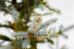 Branche d'arbre impeccable avec la neige blanche Arbre impeccable d'hiver dans le frostLayer de la neige sur des branches de sapi photographie stock libre de droits