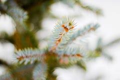 Branche d'arbre impeccable avec la neige blanche Arbre impeccable d'hiver dans le frostLayer de la neige sur des branches de sapi image libre de droits