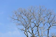 Branche d'arbre mort sur le fond de ciel bleu Images stock