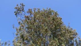 Branche d'arbre noisette fraîche avec l'oscillation de noisette en vent sur le fond de ciel bleu clips vidéos