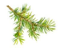 Branche d'arbre peinte par aquarelle de sapin photographie stock