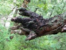Branche d'arbre ressemblant au poing de Wolverine, vallée des fleurs Photographie stock libre de droits