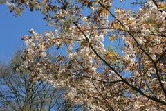 Branche d'arbre rose blanche douce de floraison de fleur d'amande sur le fond de ciel bleu r photos libres de droits